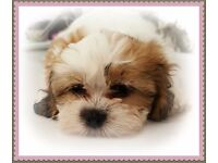 Beauttfull F1 shih puffs reasy now fully vaccinated and micro chipped