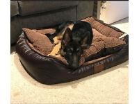 5 Month German Shepherd Puppy Male