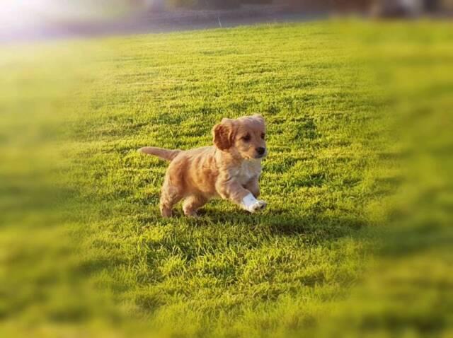 Cockapoo Puppies | in Crossmaglen, County Down | Gumtree
