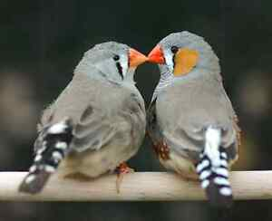 Zebra finches breeding pair with cage