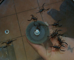 Baby Scorpions for Sale