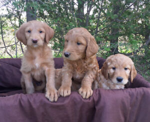 Labradoodle Puppies for Sale!