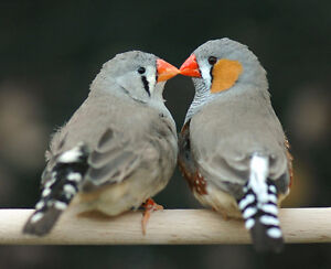 Male and Female Zebra finch with a nice bird cage