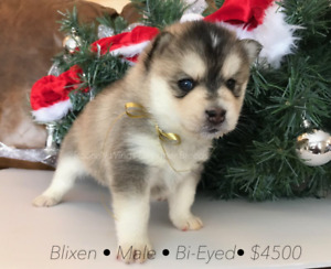 ***Christmas Pomsky Puppies!*** Best Gift Ever!