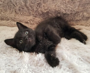 Russian Blue Cross kittens ( 1 Boy Available )