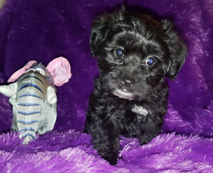 Sweet Yorkie Poo Pup ONLY 1 LEFT