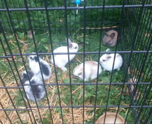 Holland Lop babies available soon