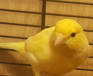 Excellent singer waterslager canary