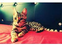 Beautiful Bengal girl for sale