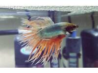 Betta, Siamese fighting fish.