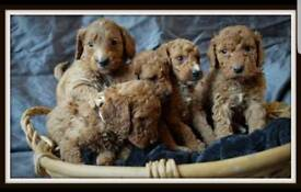 Beautiful gold/red cockapoo puppies