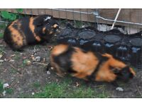 Tiger coloured Guinea Pig bonded pair £20 for both - sow and neutered boar - enjoy cuddles