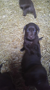 Beautiful Pure Bred Chocolate Lab Puppies