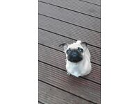 PUG PUP 5 MONTHS OLD