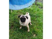 Female Pug Dog for sale
