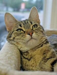 "Young Female Cat - Domestic Short Hair-Tabby: ""Sugarberry"""