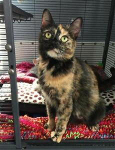 "Adult Female Cat - Domestic Short Hair: ""Bailey"""