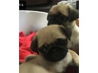 Pug puppies for sale - KC registered and ready now