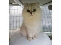 Chinchilla 1yr old Kittens / Cats
