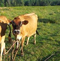 Purebred Registered Jersey Cows**1 sold PPU**
