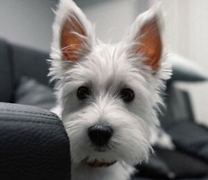 Looking for a west highland terrier!