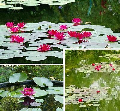 rote Seerose Nymphea burgundi princess / Schwimmpflanze Wasserpflanze für Teiche