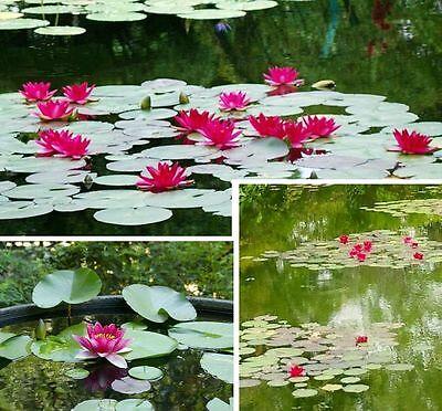 2 rote Seerosen Burgundi Pflanzen für den Teich Teichpflanzen Teichpflanze Deko