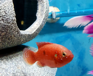 Red jewel cichlids