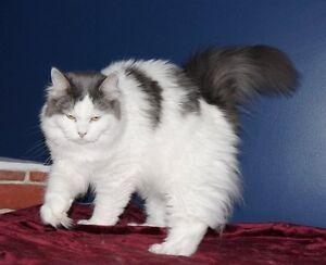 Votre future chatte est ici,  tous sont stérilisées+ en adoption