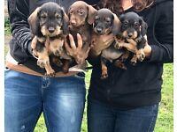 Dachshund puppys