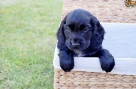 Bargain!! Black Cocker spaniel boy pup 13 weeks old