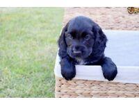 Bargain!! Black Cocker spaniel boy pup 13 weeks old