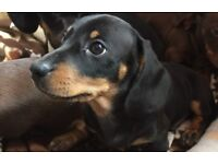 Miniature dachshund pra clear puppies