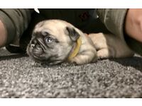 Pug puppies kc registered girls and boys