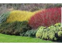 RED or YELLOW dogwood shrub - clearance stock