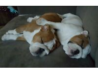 KC REGISTERED ENGLISH BULLDOG PUPPIES
