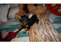 Russian toy terrier for sale