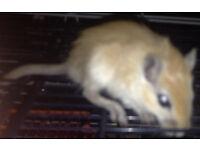 young beautiful male gerbils