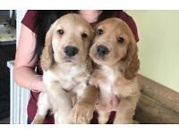 Cocker spaniels puppies. Both KC registered.