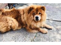 BEAUTIFUL FULL BREED CHOW PUPPIES