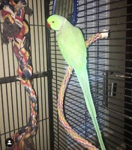 3 Year Old Talking Indian Ringneck Parrot for sale!