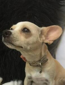 "Adult Female Dog - Chihuahua-Terrier: ""Tippy"""
