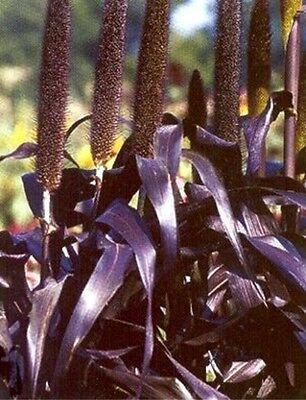 50 seeds Purple Majesty Ornamental Grass BLACK ...
