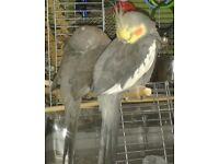 Lost male grey cockatiel mate and flock are missing him badly