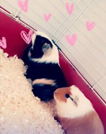 2 guinea pigs with red cage