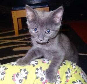Female Kitten 8wks old Cooran Noosa Area Preview