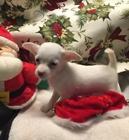 Chihuahua x Toy fox terrier puppies PRICE FIRM