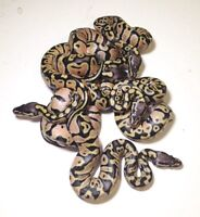 Baby pastel ball pythons