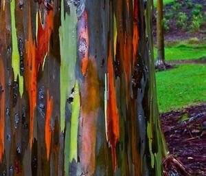 Rainbow Eucalyptus approximate 50 seeds *Eucalyptus deglupta*Rare Exotic CombSH