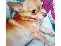 Stunning boy chihuahua